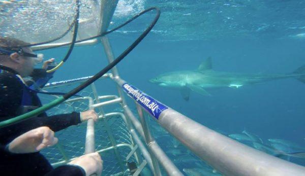 Köpekbalığı Kafes Dalışı Nasıl Yapılır