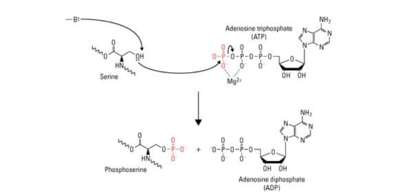 Fosforilasyon Nedir