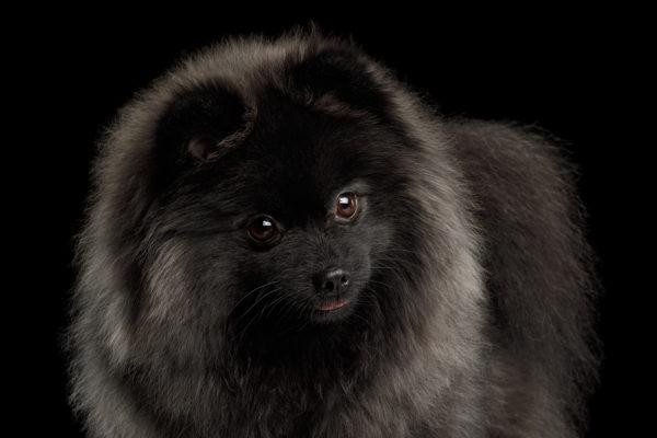 Köpek Öksürüğü Nedir