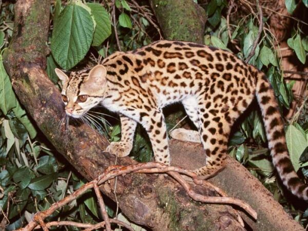Margay Kedisi Nasıl Bir Hayvandır?
