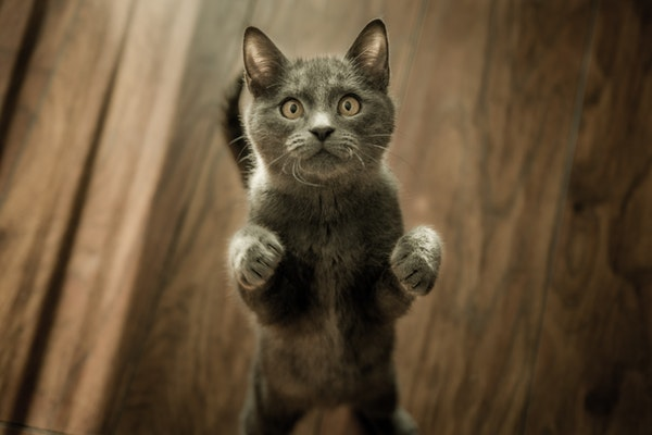 Kediler Neden Mırlıyor