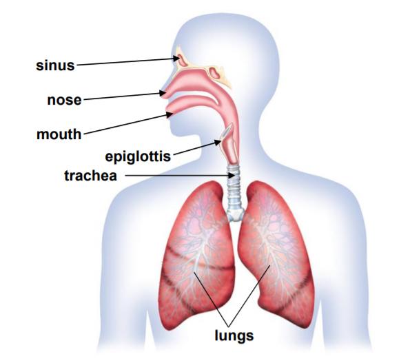 Solunum Sistemi Nasıl Çalışır