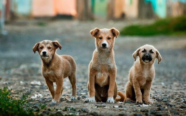 Köpekler Neden Kuyruk Sallar