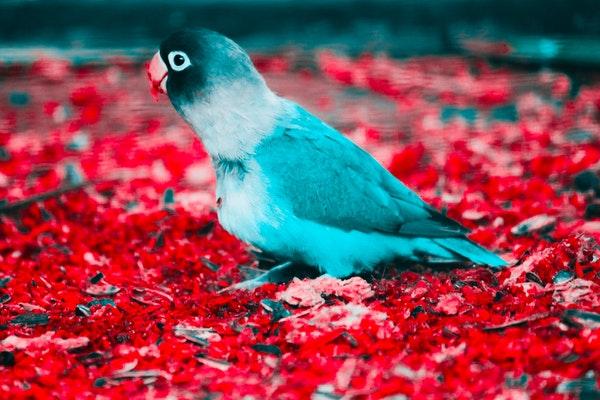 Muhabbet Kuşu Nasıl Ele Alıştırılır